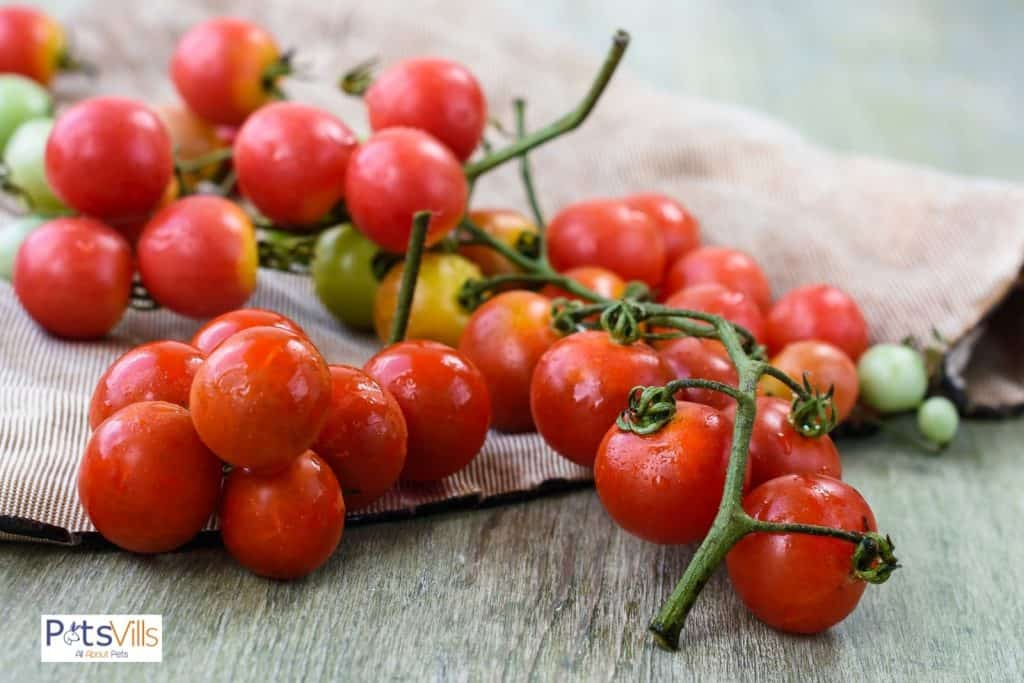 fresh cherry tomatoes on top of a table: can bearded dragons eat tomatoes?