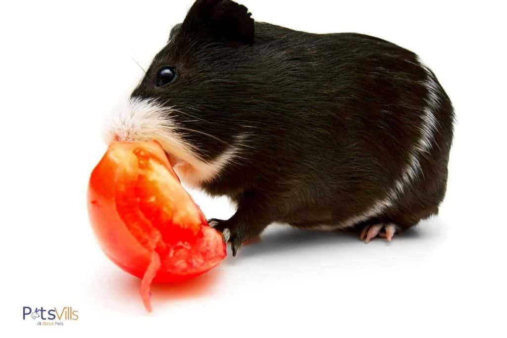 black cavy eating a fresh tomato
