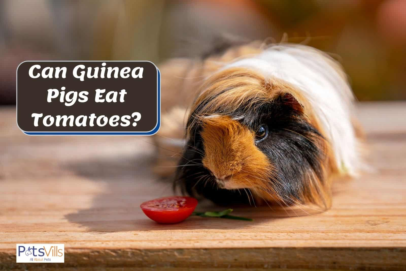 a furry cavy looking at the tomato but can guinea pigs eat tomatoes?