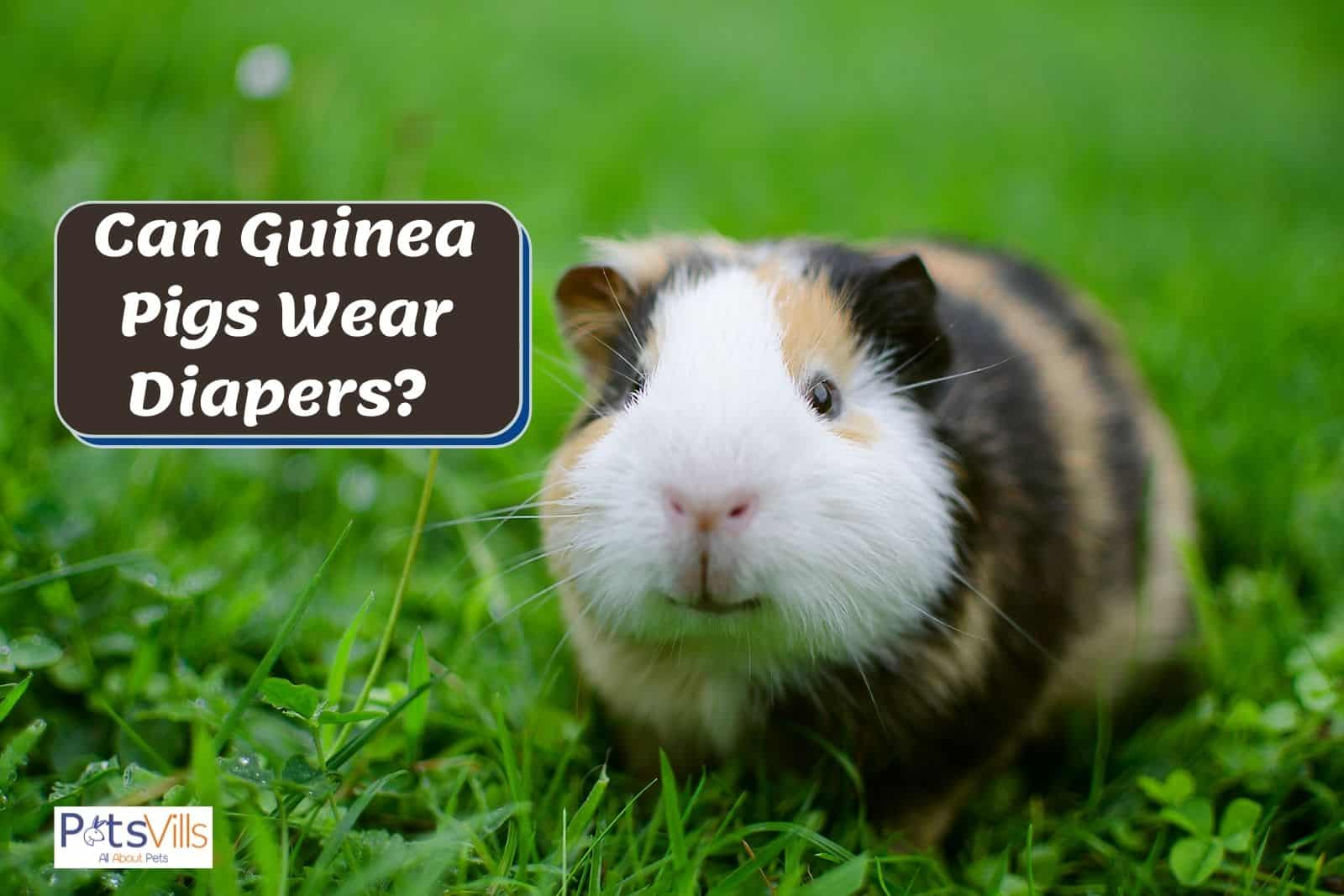a cute guinea pig looking at the camera: can guinea pigs wear diapers