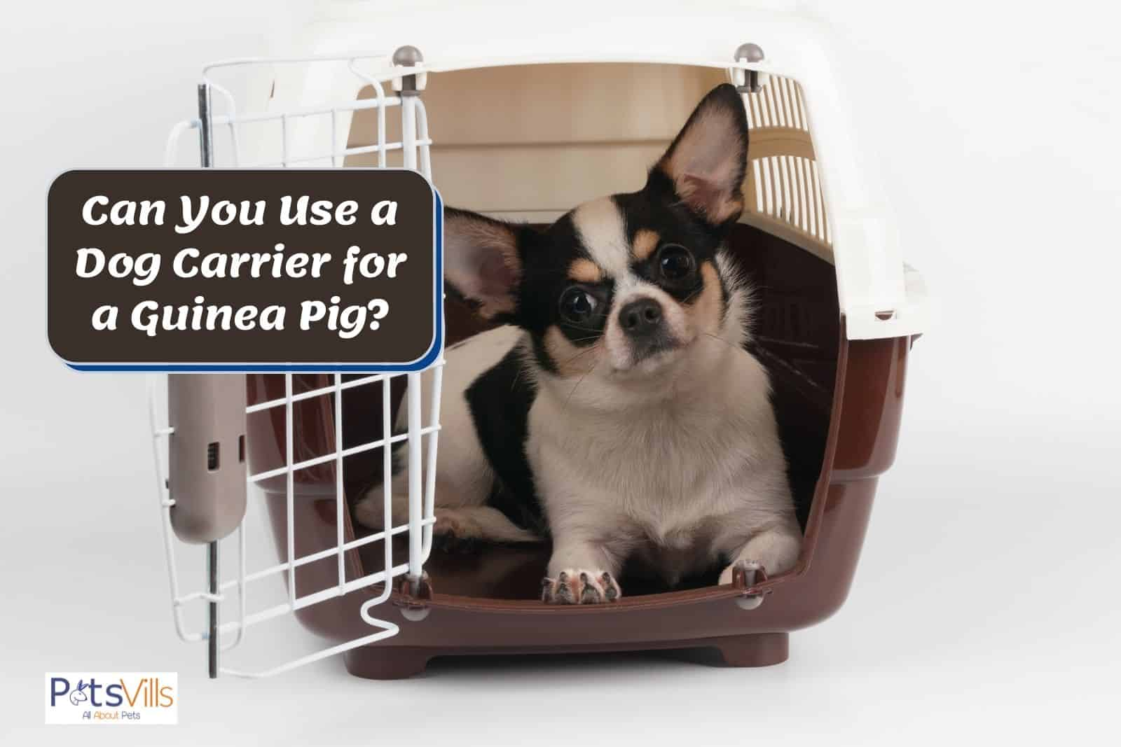 a cute dog inside his carrier but can you use a dog carrier for a guinea pig?