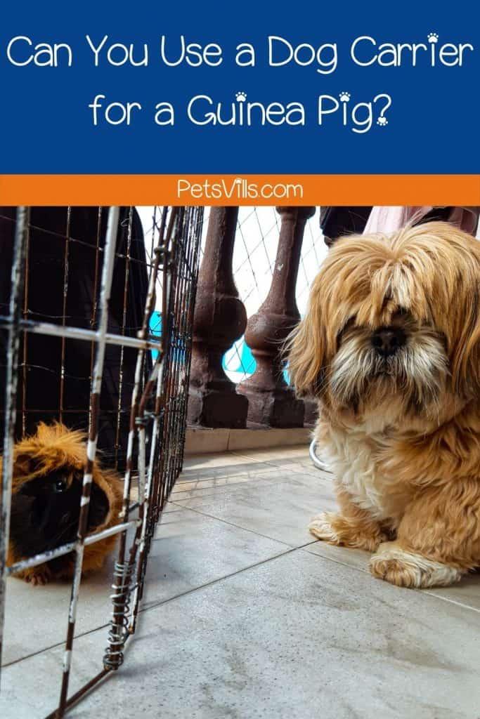 fluffy dog and guinea pig