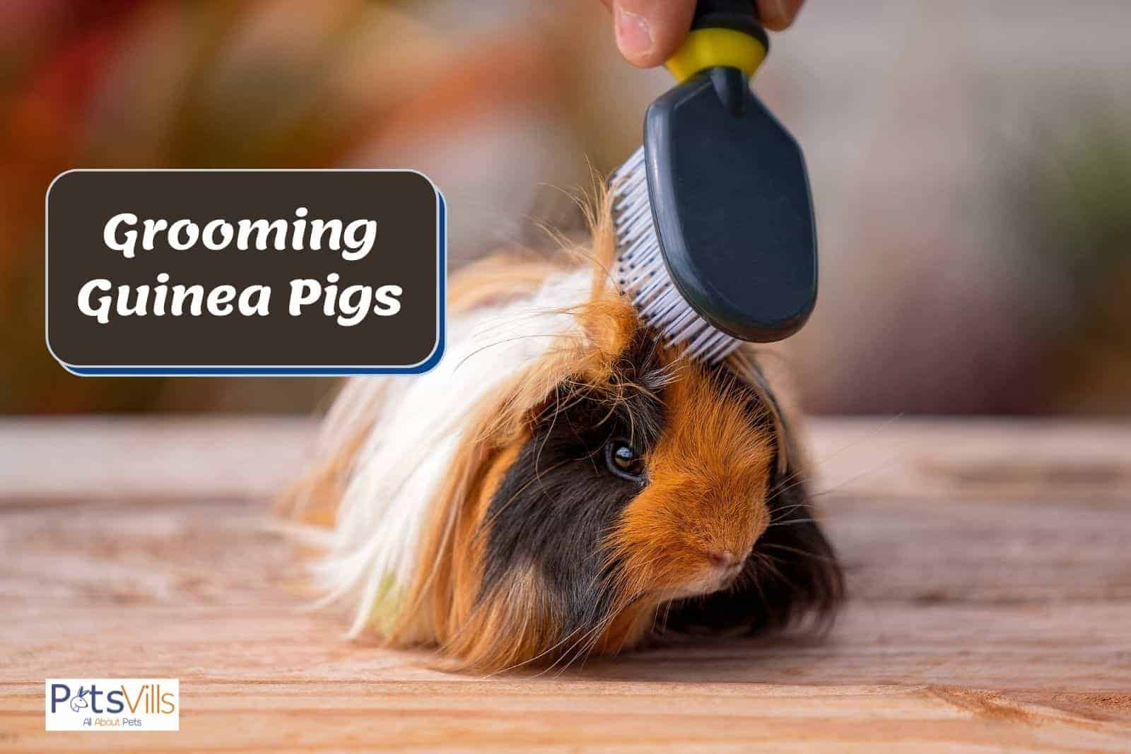 properly grooming guinea pigs using a tiny brush