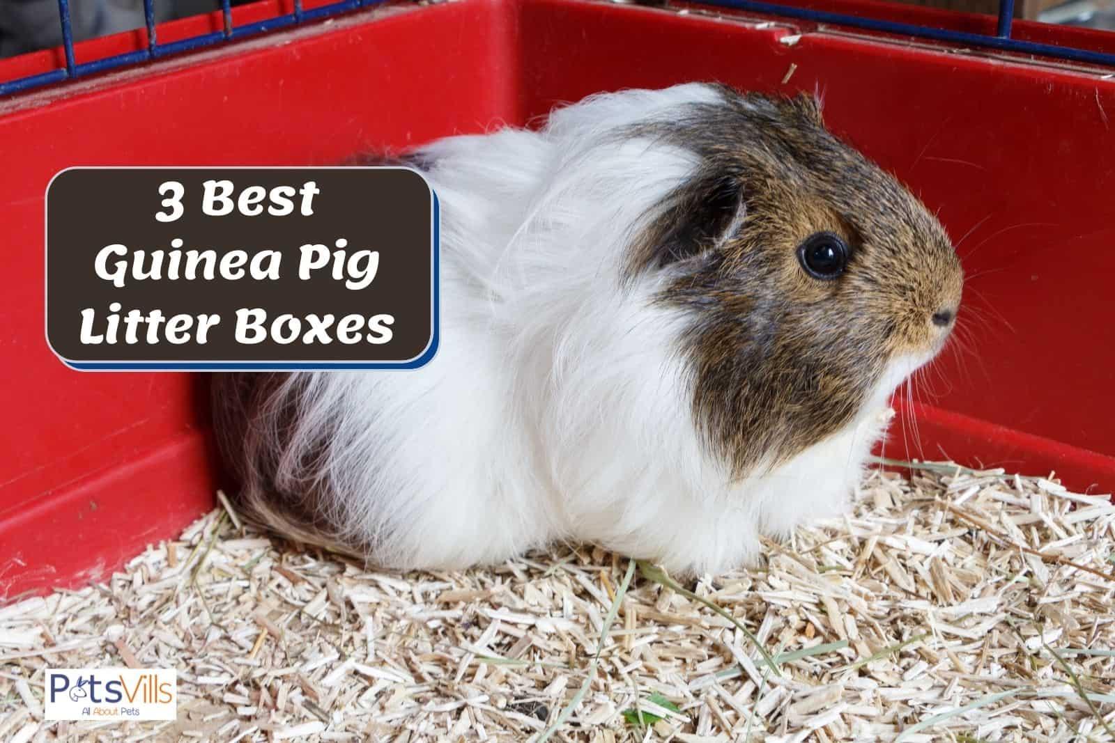 a cute guinea pig sitting on his guinea pig litter box