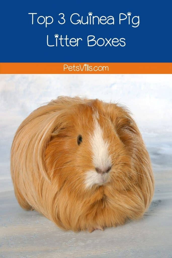 a fluffy and hairy brown guinea pig