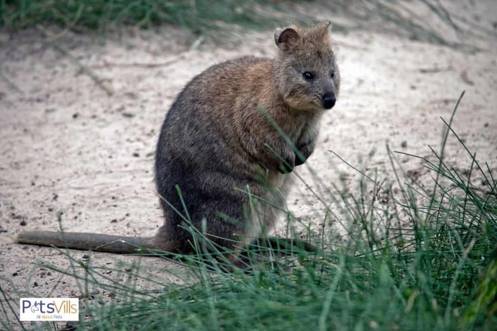 quokka that looks like a kangaroo