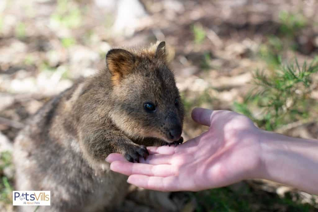 quokka holding the hand of a lady