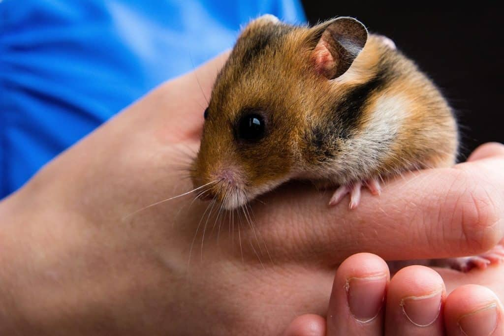a hamster in a vet's hand to check if there is signs of hamster dying