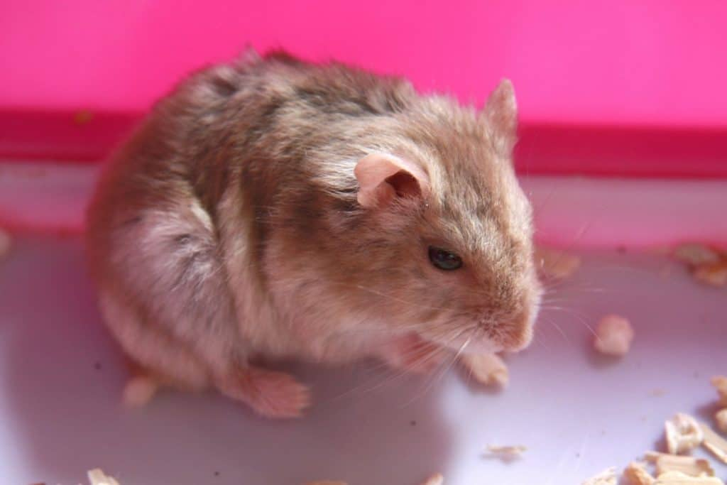 a lazy hamster
