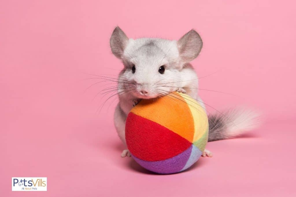 a chinchilla holding a colorful ball toy