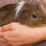a women taking care of guinea pig, do guinea pigs bite