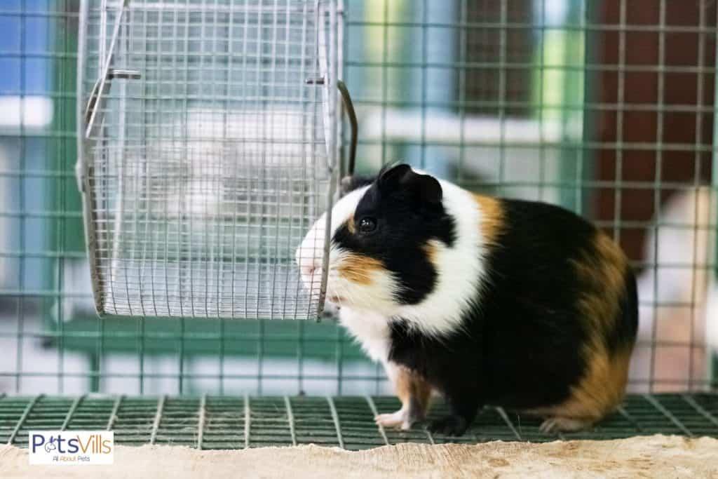a guinea pig in a big cage