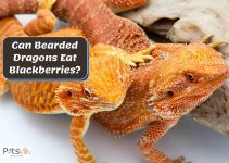 Can Bearded Dragons Have Blackberries? Is it Safe?