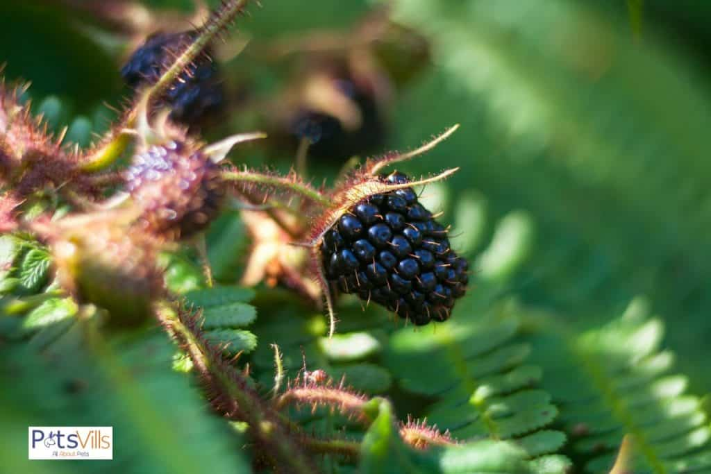 a wild blackberry on its tree