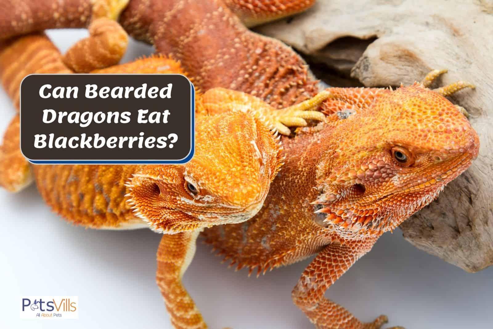 two bright orange bearded dragons