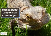 Can Bearded Dragons Have Cantaloupe at All?