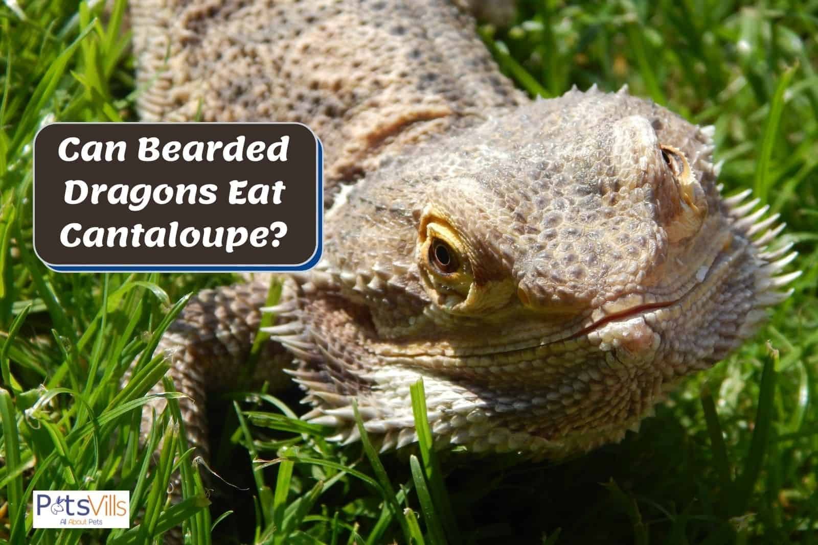 bearded dragon crawling in the grasses