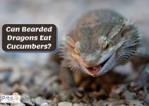Can Bearded Dragons Have Cucumber?