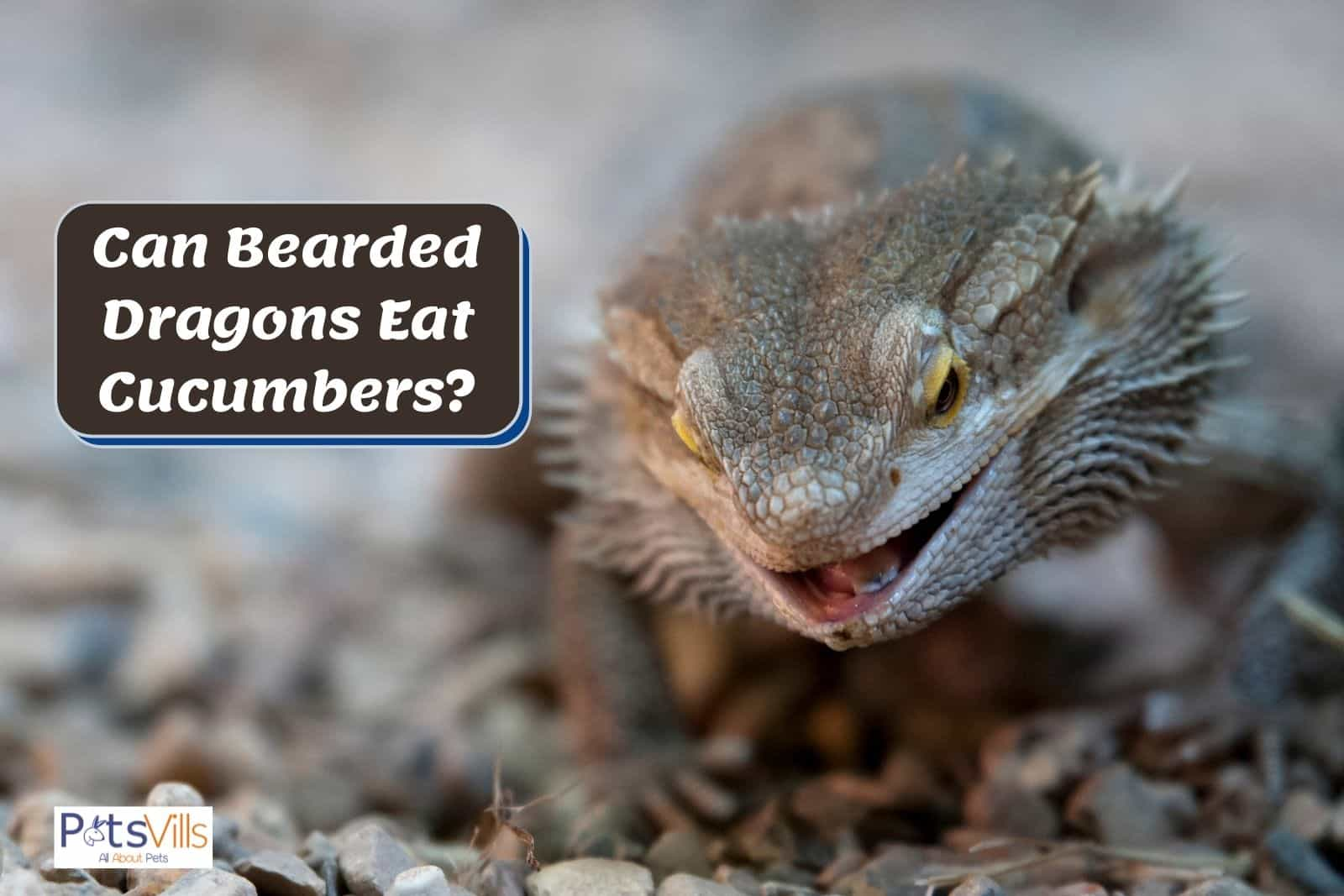 bearded dragon with a wide open mouth