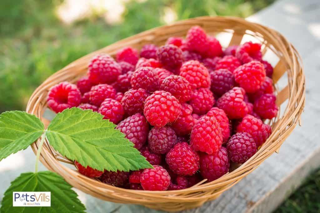 freshly picked raspberries: can bearded dragons eat raspberries?