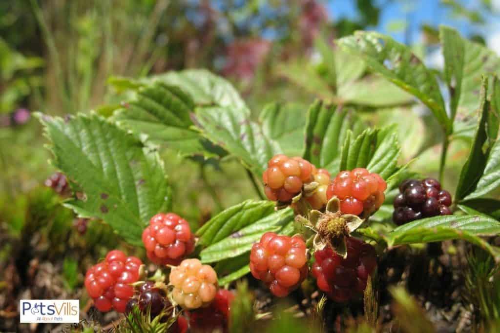 wild raspberries: can bearded dragons eat wild raspberries?