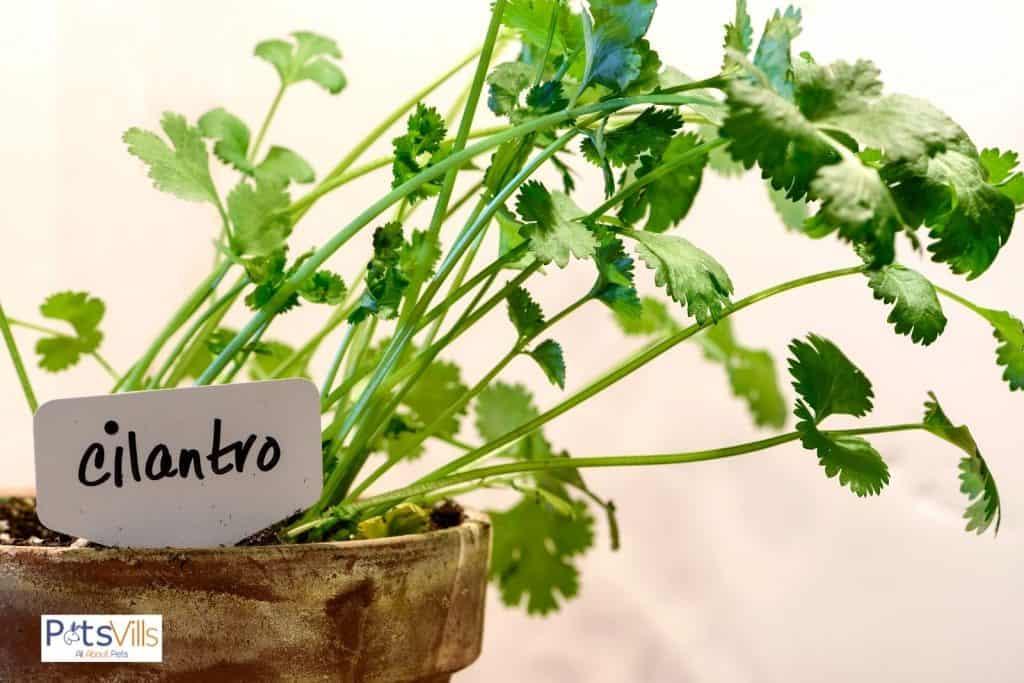 cilantro on a pot