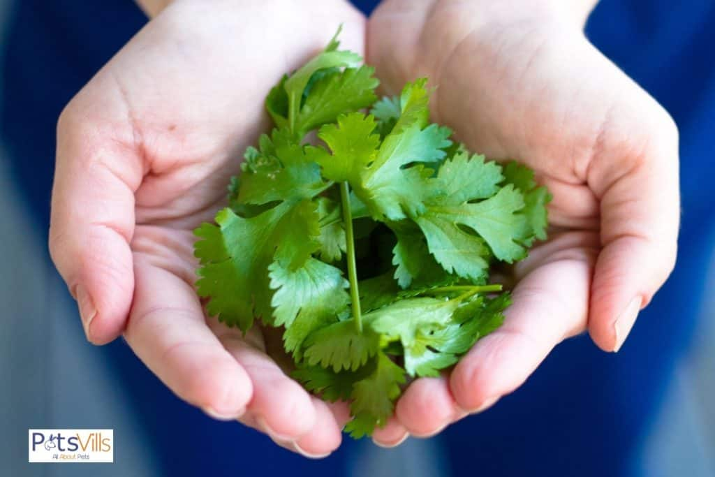 hand full of cilantro