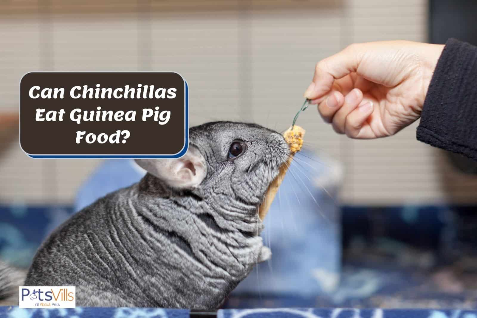 chinchilla eating guinea pig food but Can Chinchillas Eat Guinea Pig Food safely?