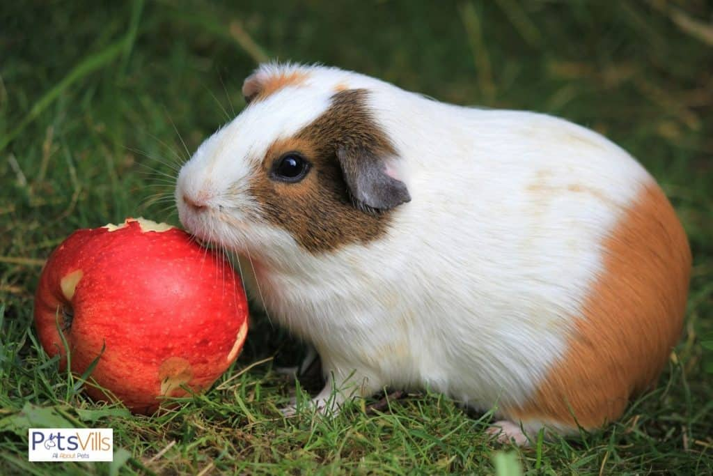a guinea pig eating apple (guinea pigs fruit and vegetables consumption)