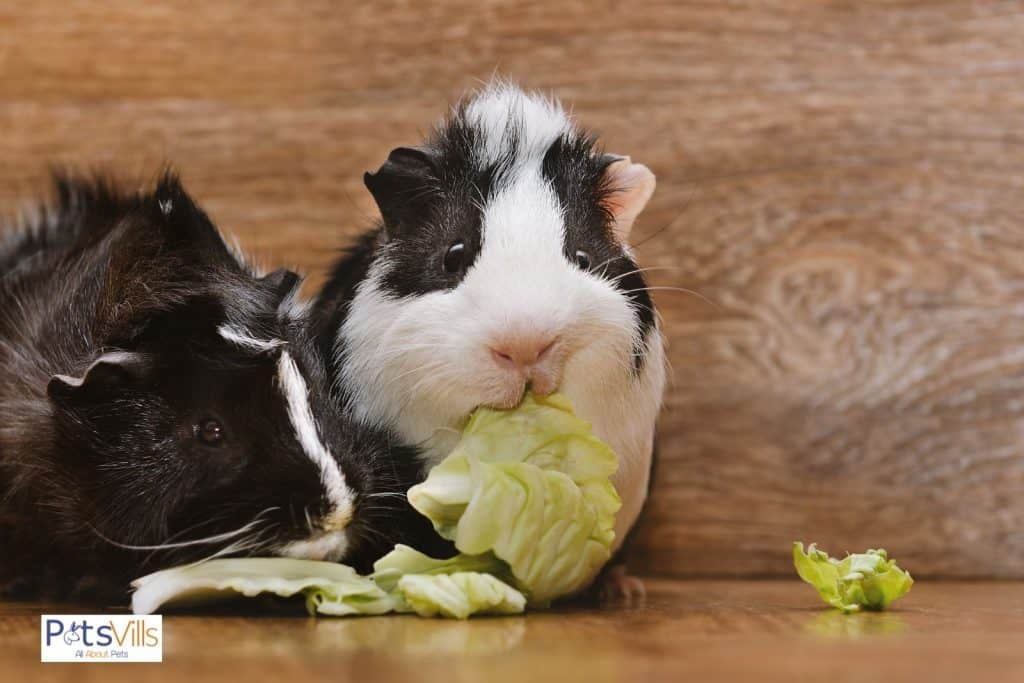 guinea pigs eating cabbage