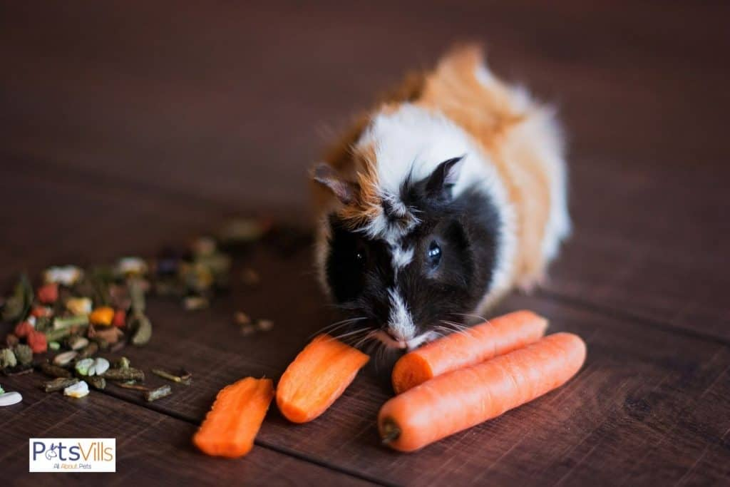a guinea pig eating carrots (guinea pigs fruit and vegetables consumption)