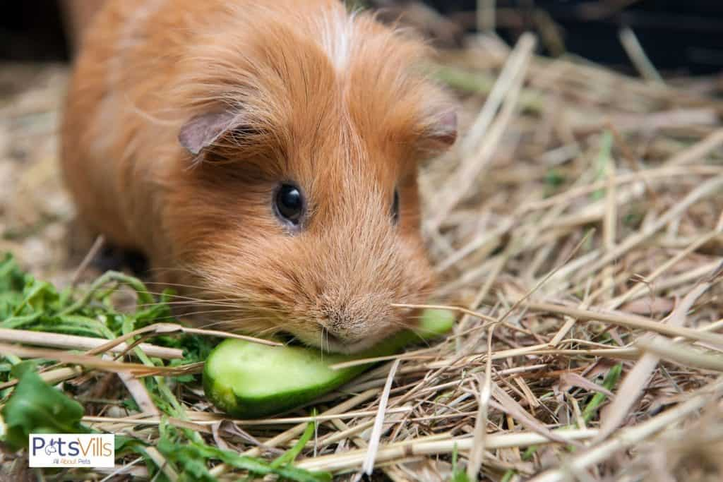 a guinea pig eating cucumber (guinea pigs fruit and vegetables consumption)