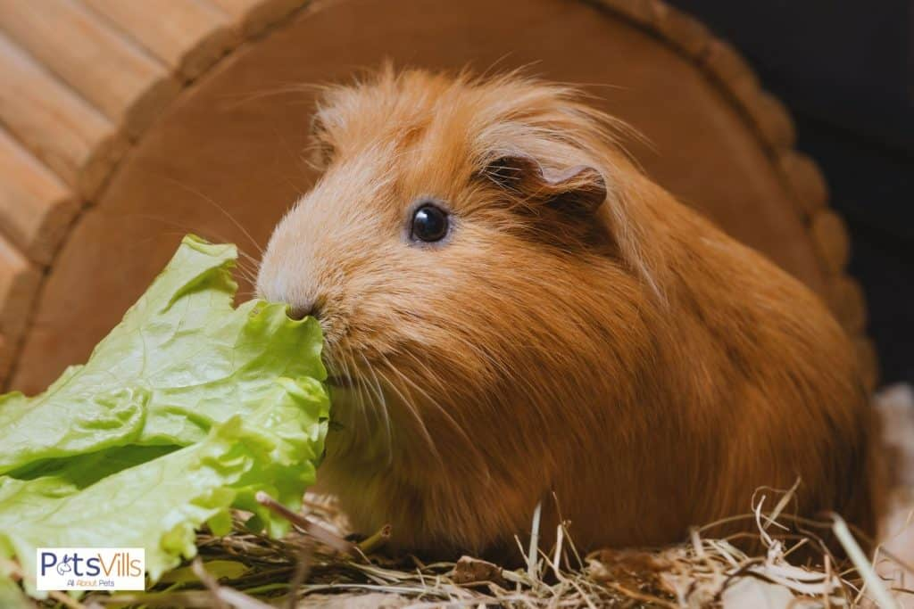a guinea pig eating lettuce (guinea pigs fruit and vegetables consumption)