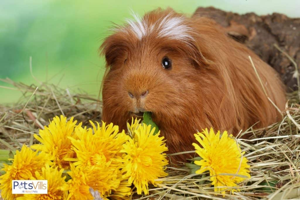 a guinea pig trying to eat sunflower seed