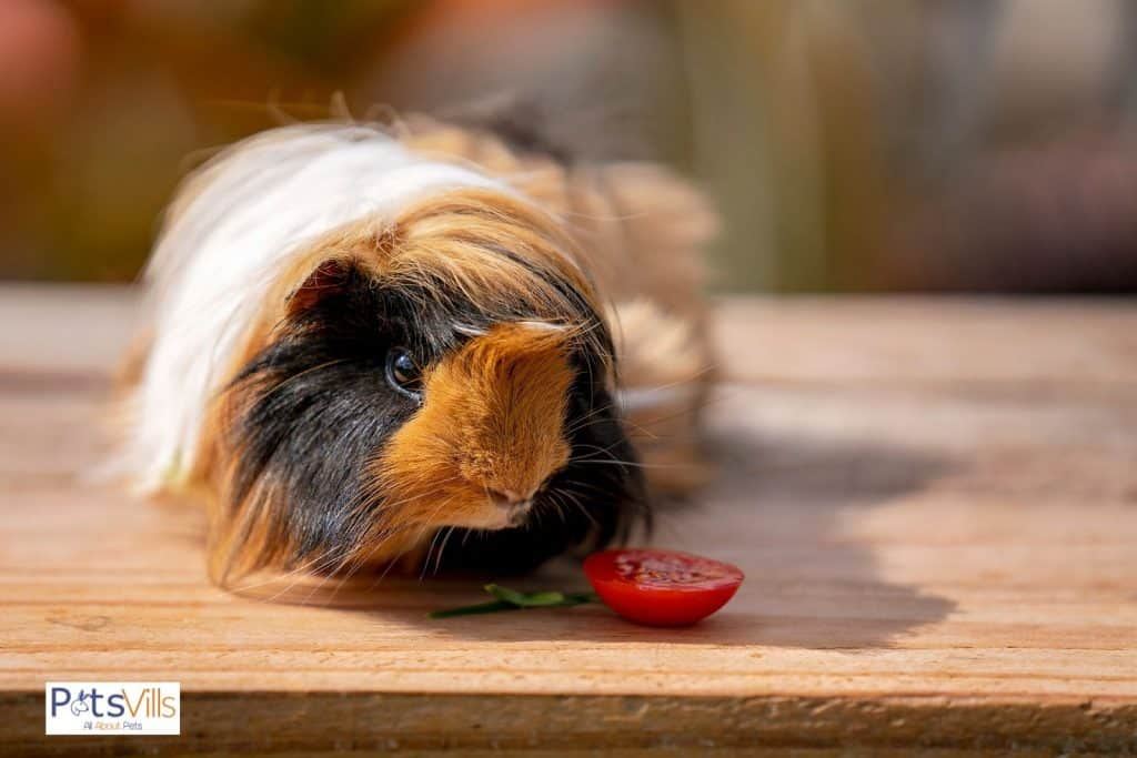 a guinea pig eating tomato ((guinea pigs fruit and vegetables consumption)