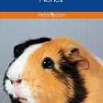 an alone sad guinea pig
