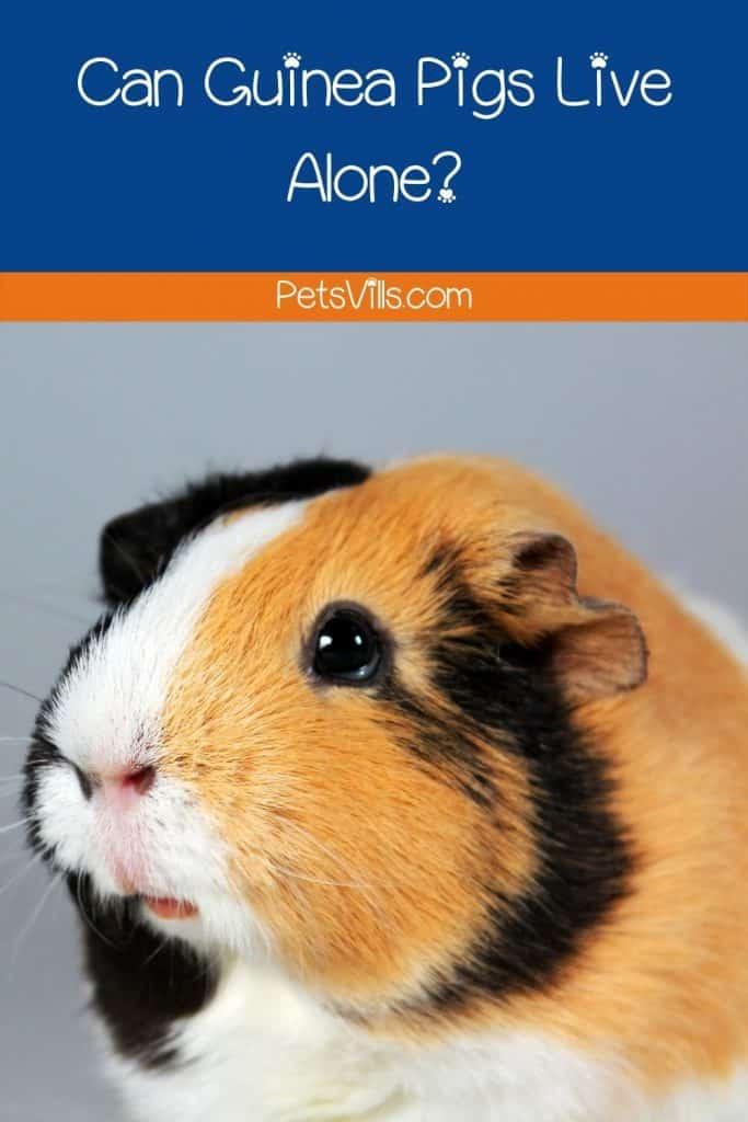 a sad guinea pig