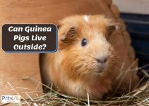 Can Guinea Pigs Live Outside? Or is it Dangerous?
