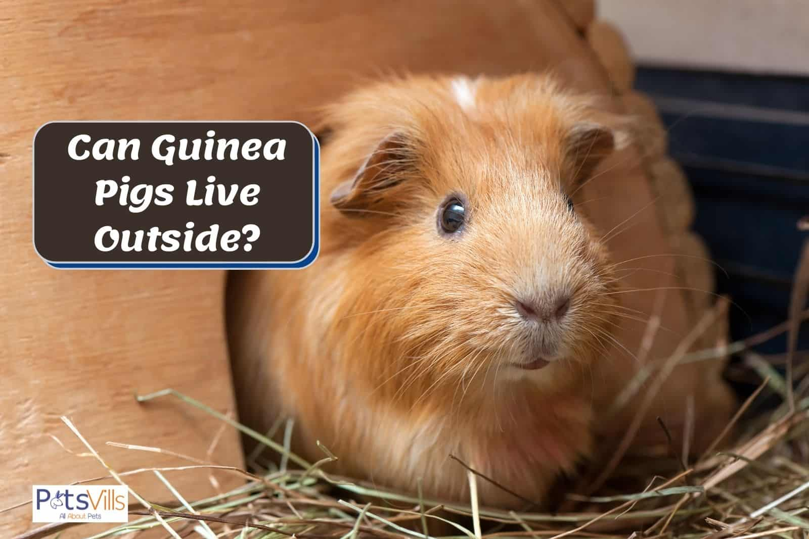 a guinea pig standing outside the hutch, so can guinea pigs live outside?