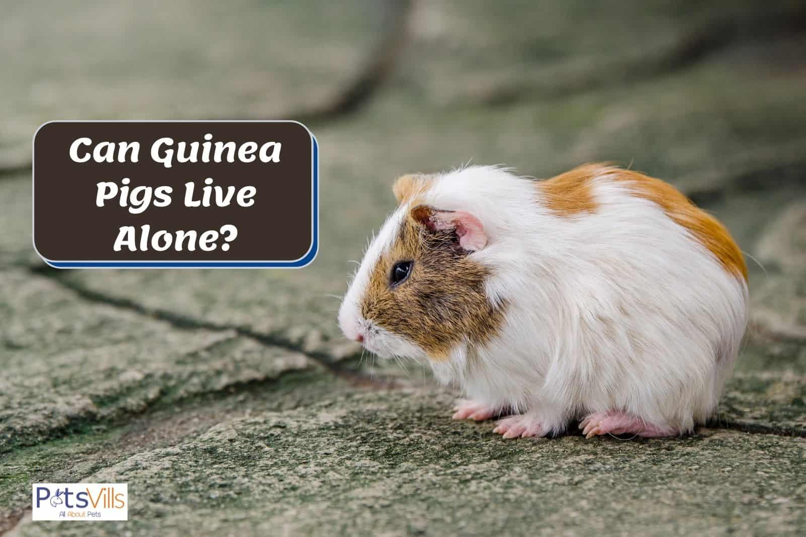 a lonely guinea pig; Can Guinea Pigs Live on Their Own?