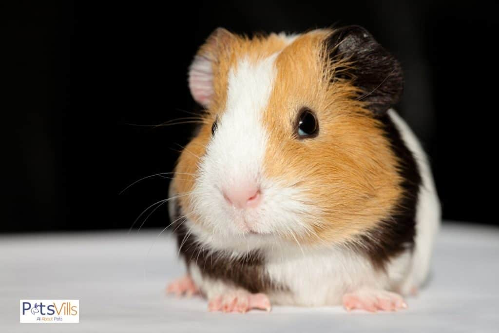 Guinea Pig Scared OF Swimming, can guinea pig swim