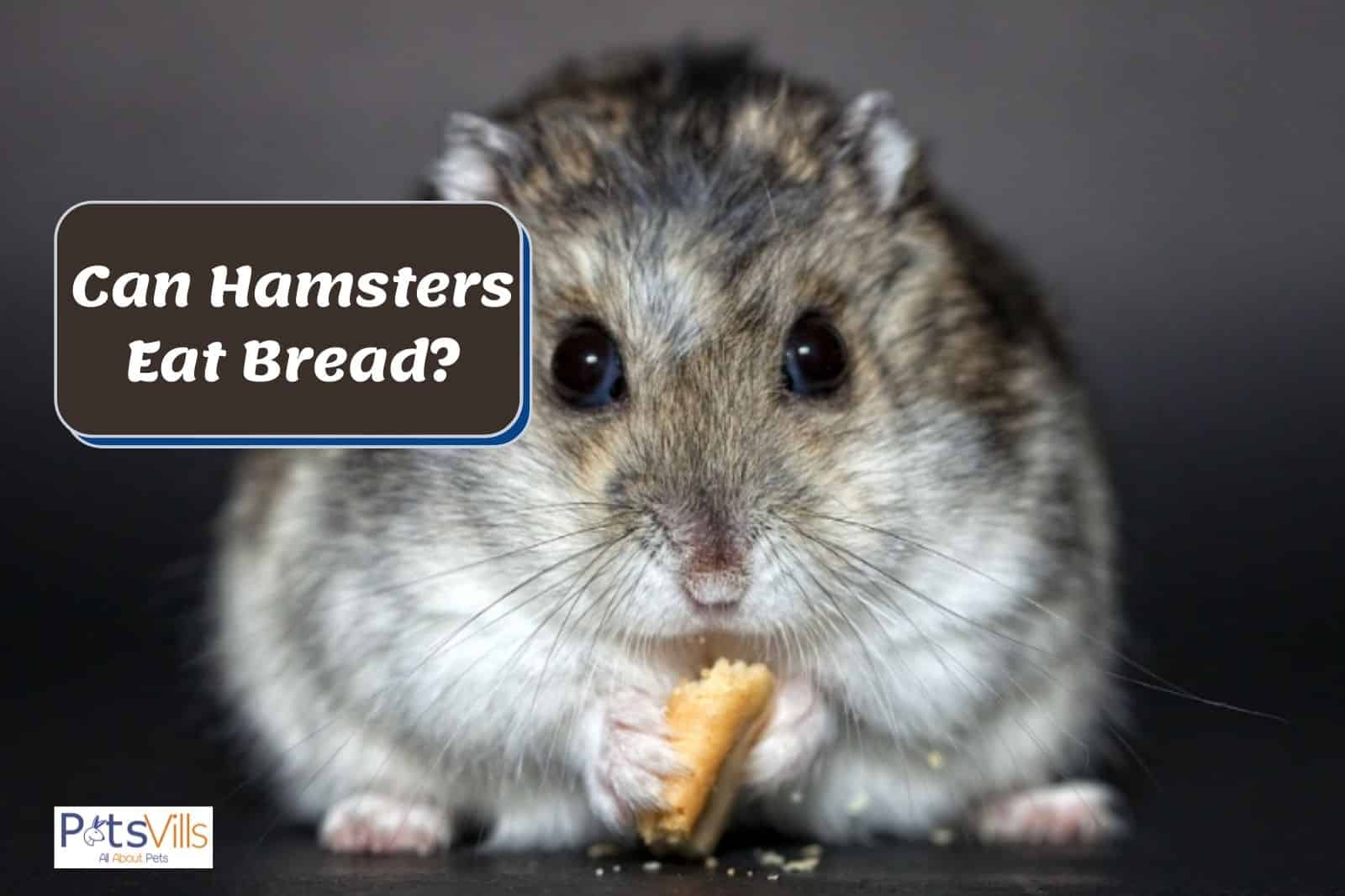 a hamster trying to eat bread, can hamsters eat bread