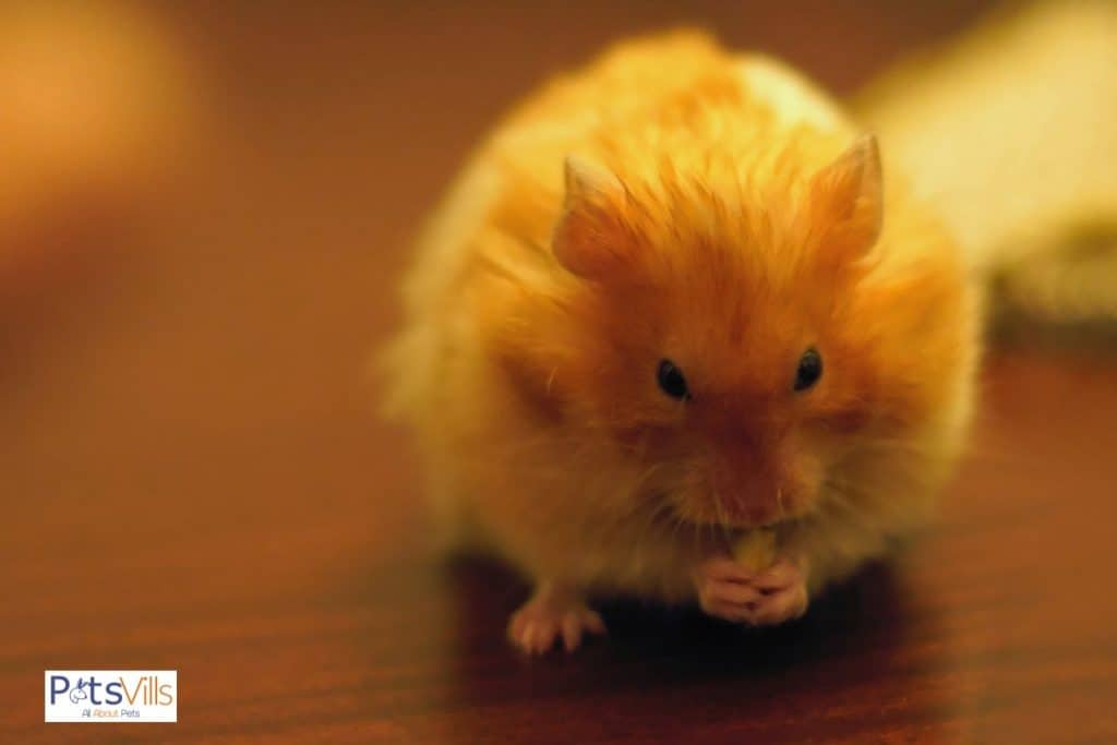 a hamster trying to eat a small piece of chicken, can hamsters eat chicken?