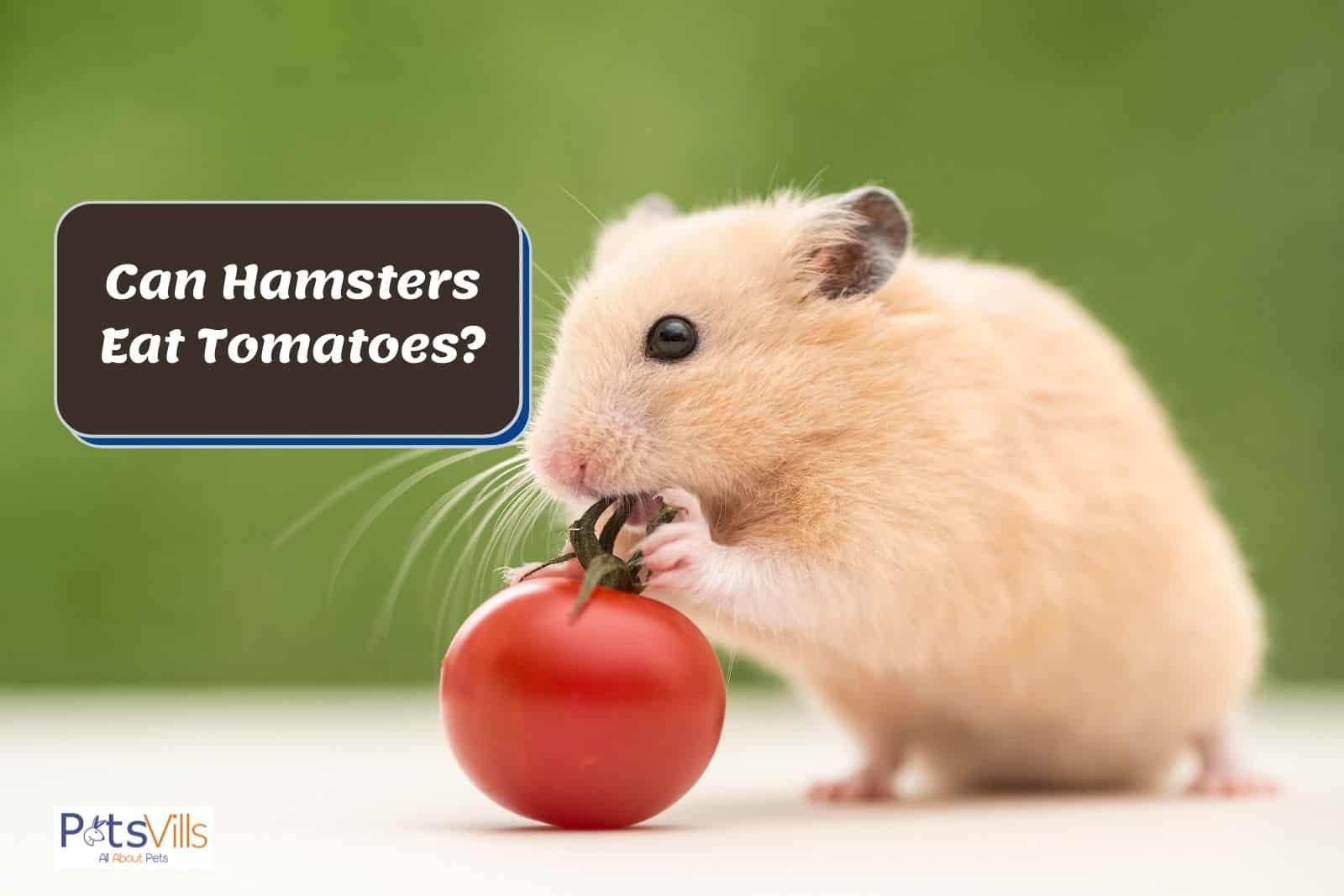 a hamster trying to eat tomato, can hamsters eat tomatoes