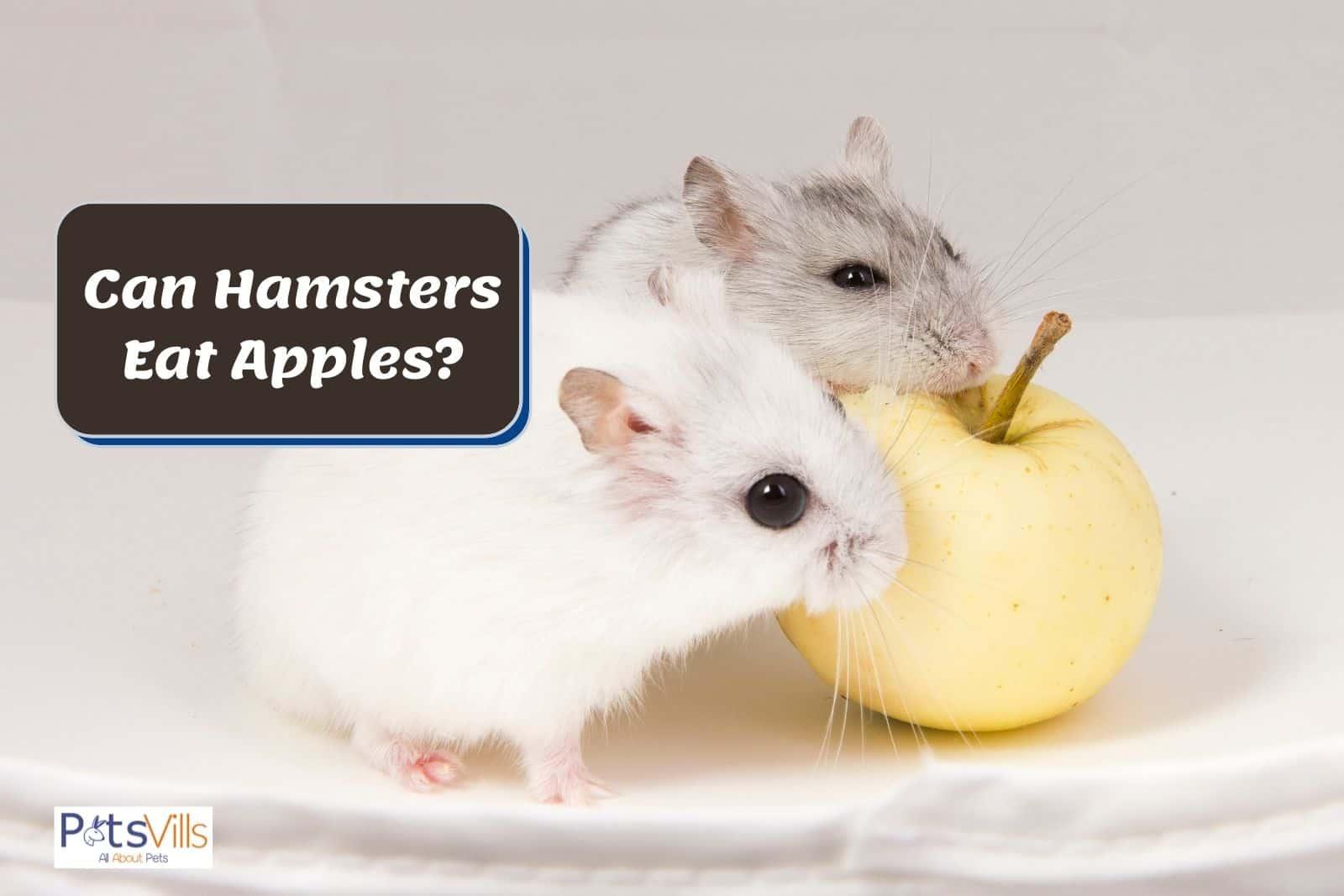 a hamsters pair eating apple