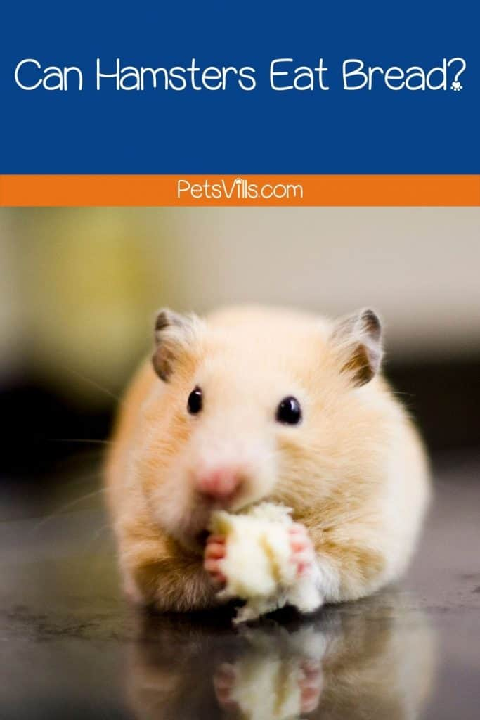 a hamster eating bread, can hamsters eat bread
