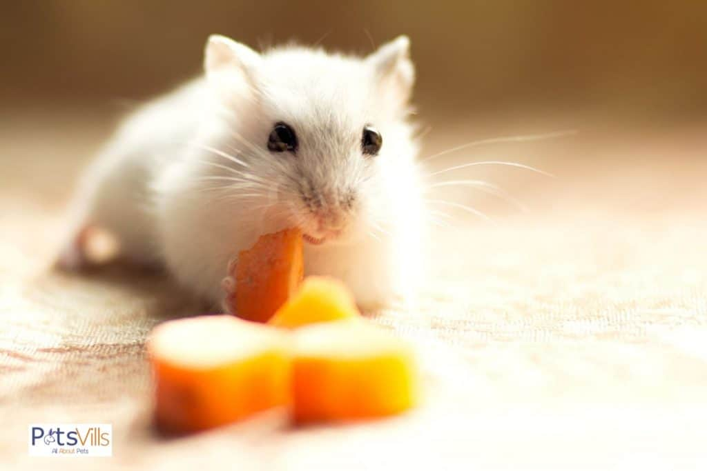 a hamster eating carrot, can hamsters eat carrots safely?