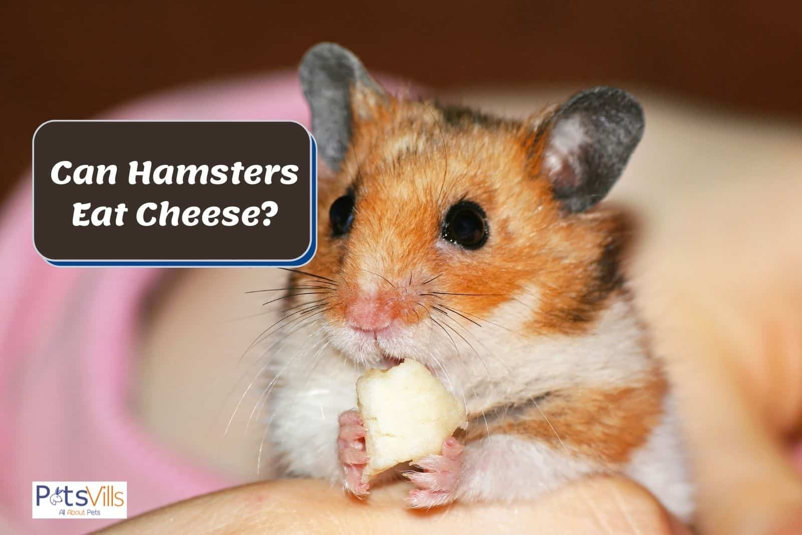a hamster eating cheese, can hamsters eat cheese