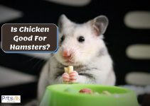 Is Chicken Good for Hamsters? How Often to Feed Them?