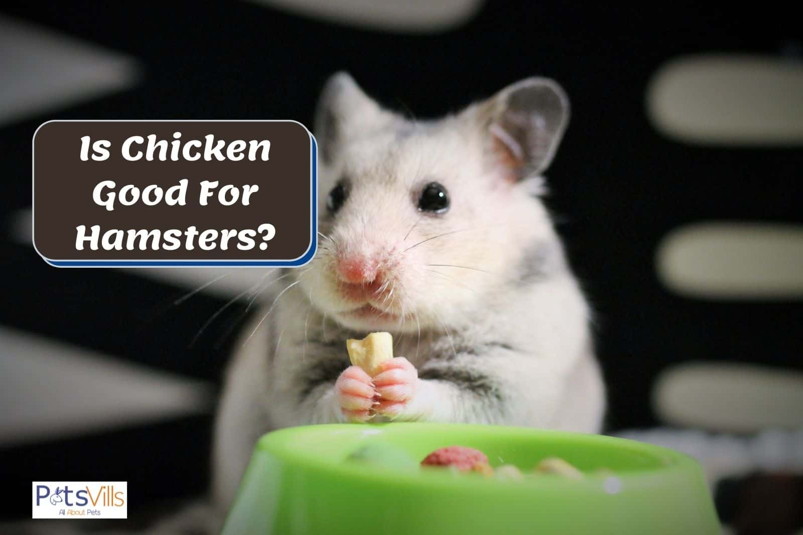 hamster eating chicken, can hamsters eat chicken